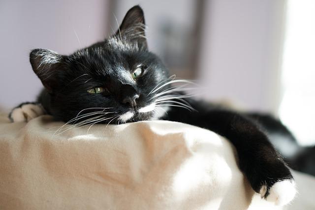 dementia in older cats