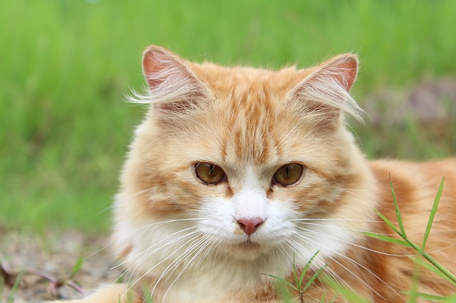 kidney disease symptoms in cats