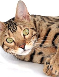 are bengal cats good housepets