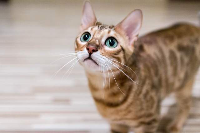 are you a good match for a bengal cat