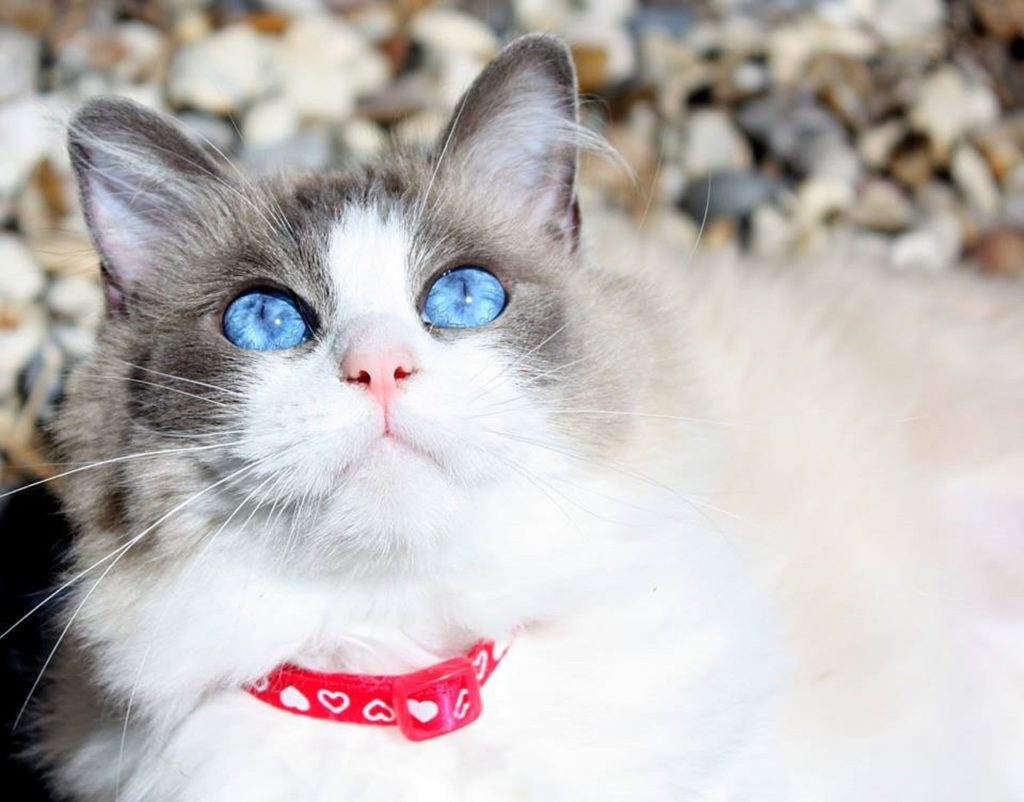 ragdoll cat with blue eyes