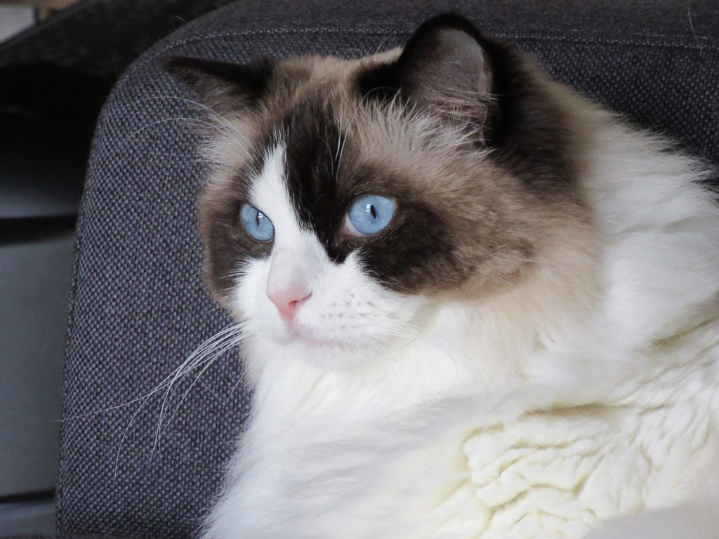 ragdoll cats personality