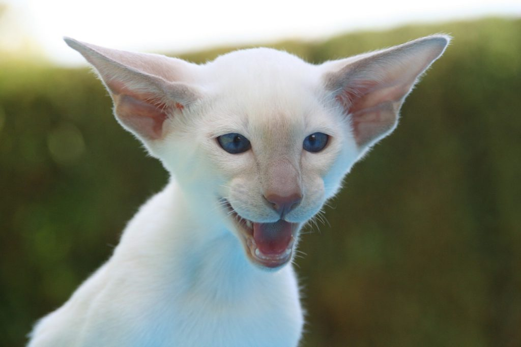 feline diabetes is more common in some breeds of cat such as siamese
