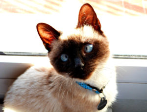 why are siamese cats cross eyed