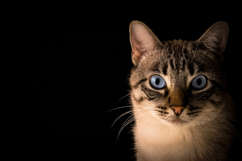 Are Siamese Mix Cats Good Pets Everything You Need To Know All To Do With Cats