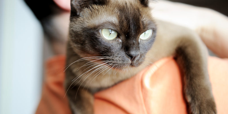 about burmese cats
