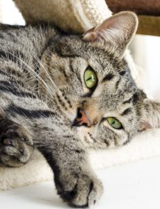 what is arthritis in cats