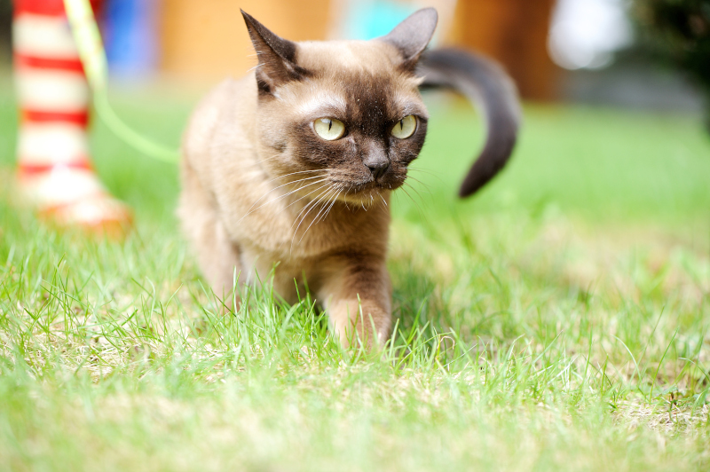 burmese cat outside in the garden
