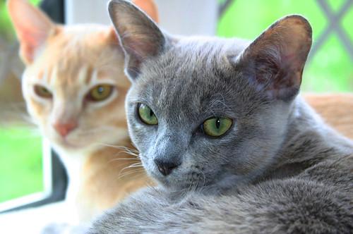 burmese cat characteristics