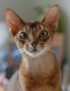 what is a singapura cat