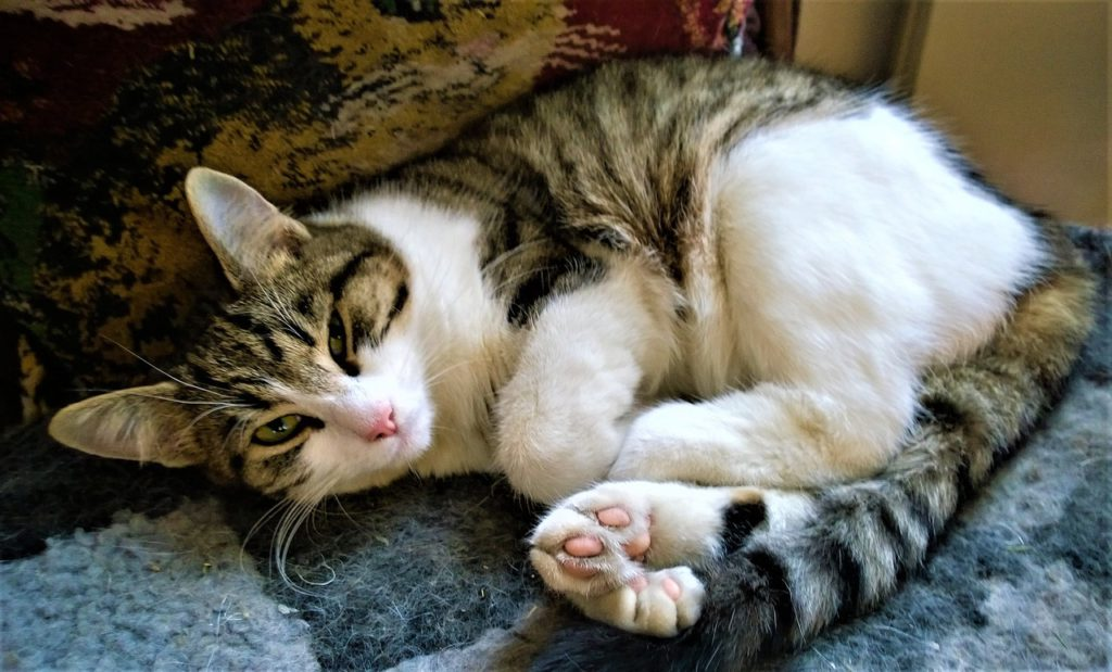 what causes cystitis in cats