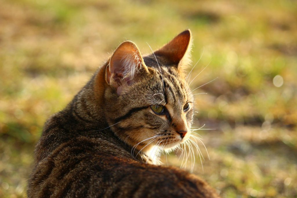 what causes arthritis in cats