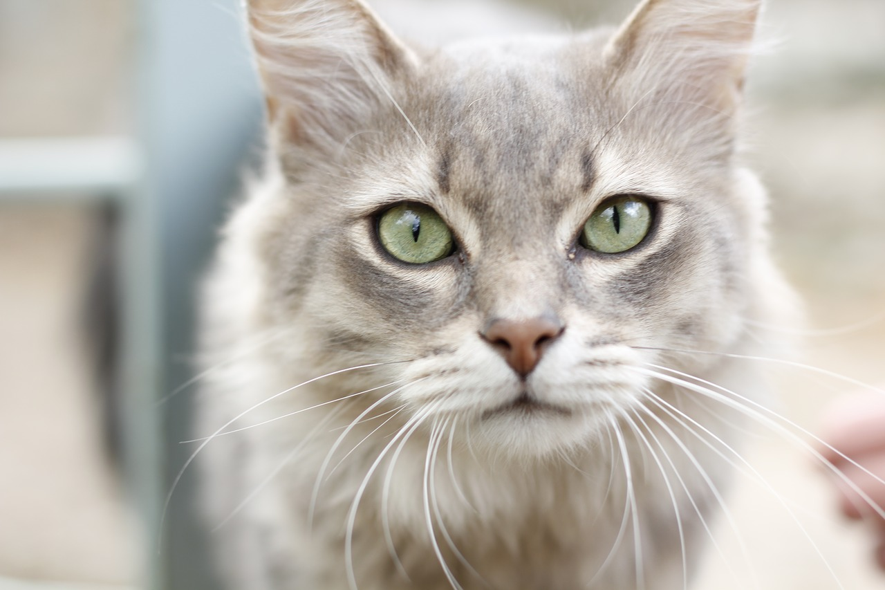 what is cystitis in cats