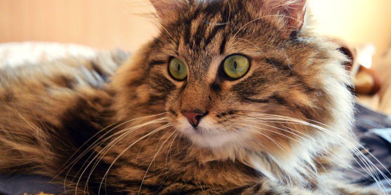 benefits of adopting an older cat
