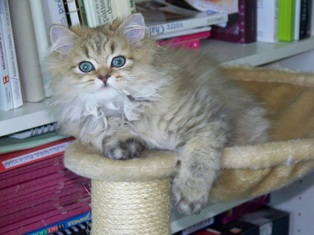 golden chinchilla cat
