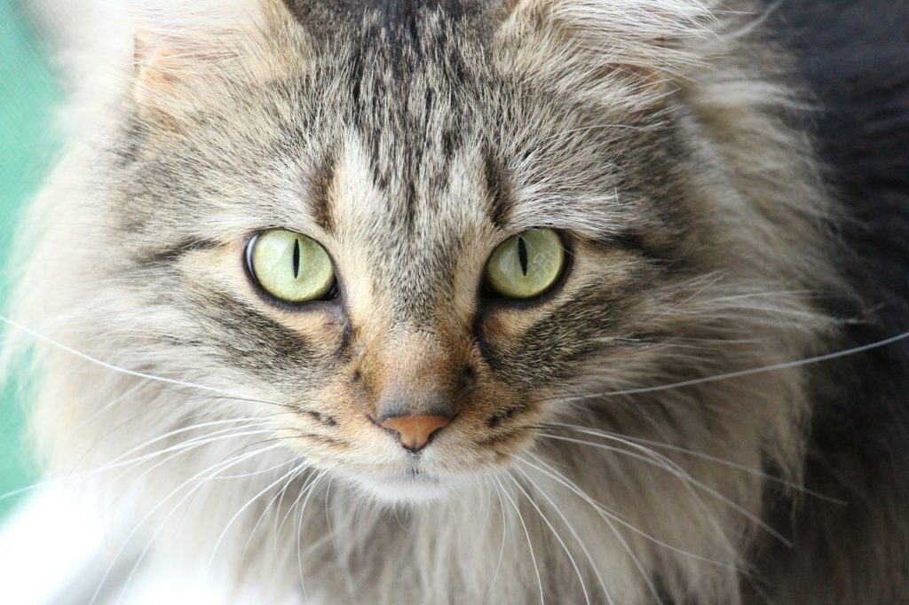 what is feline leukemia