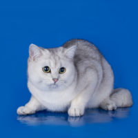all about chinchilla cats