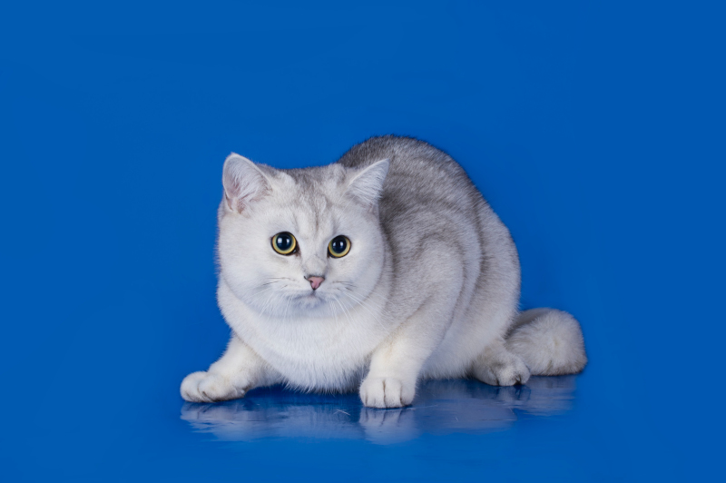 all about chinchilla cats