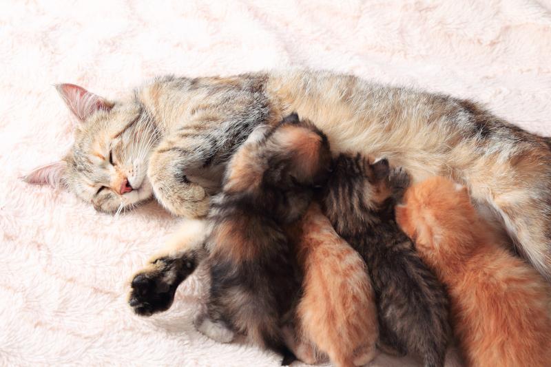 mother cat nursing kittens