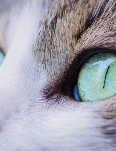 eye diseases in cats