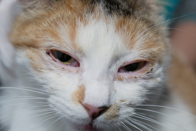 eye diseases in cats conjunctivitis