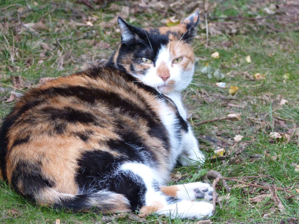 how do you know if your cat is pregnant
