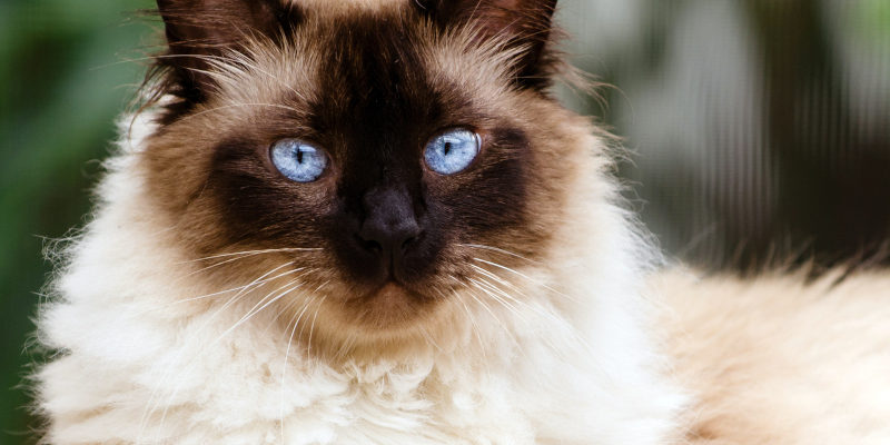 about himalayan cats