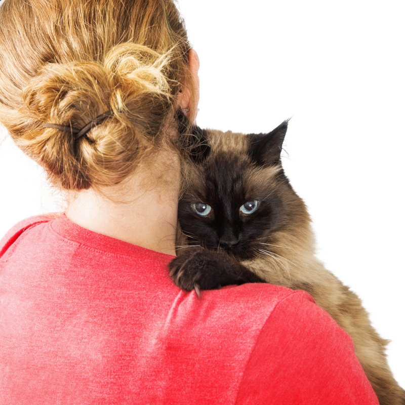 is a himalayan cat the right breed for you