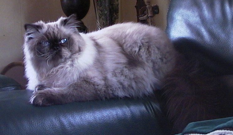 persian himalayan cats