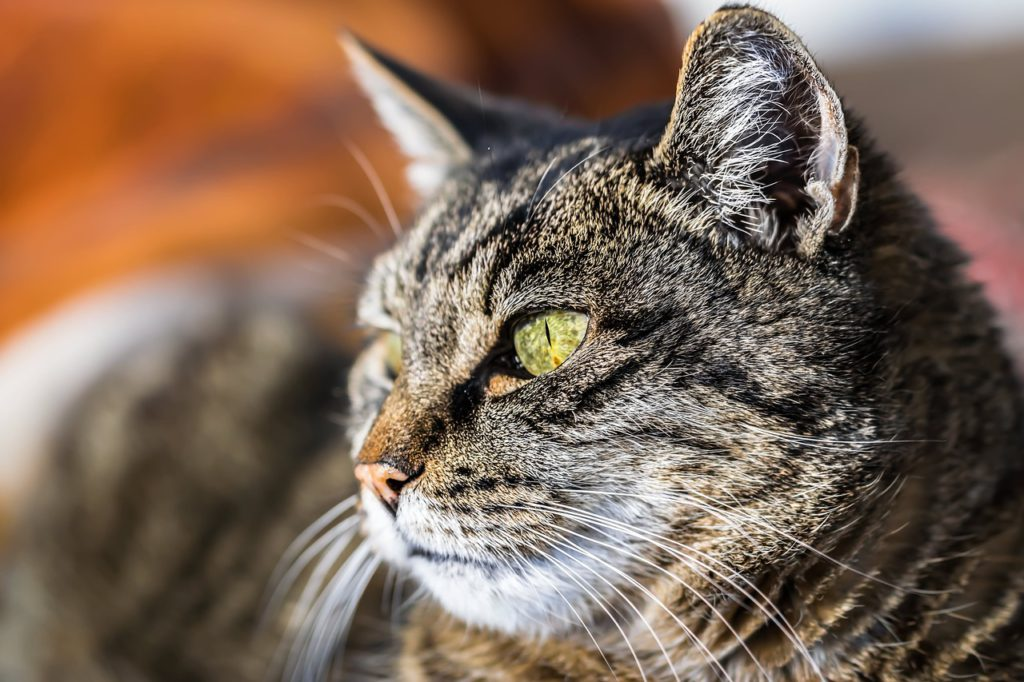 can you prevent dementia in cats