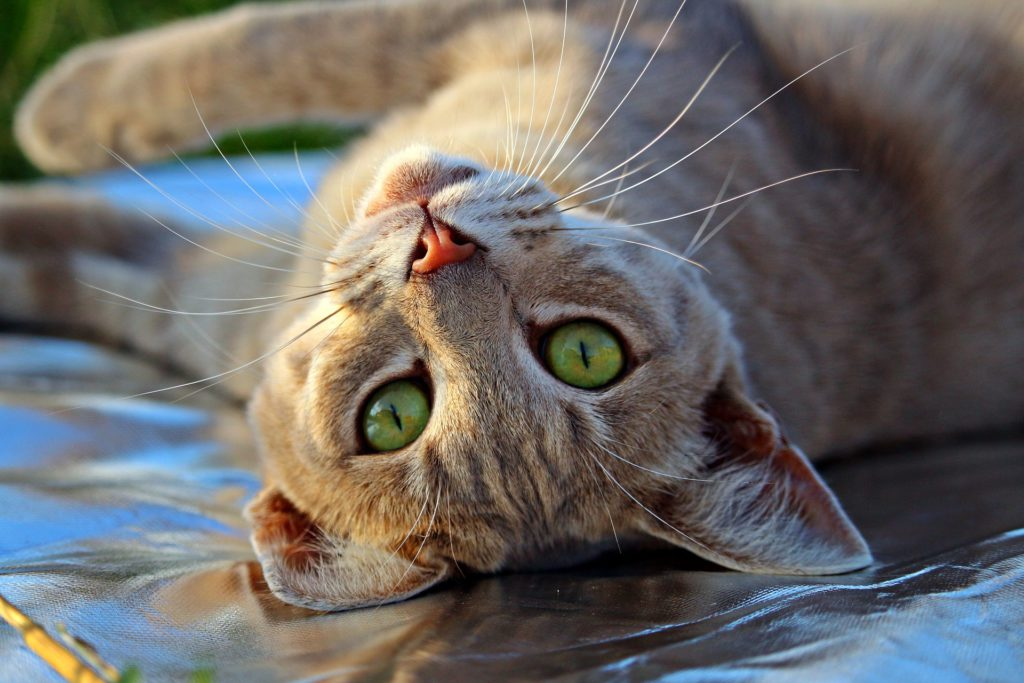 can you prevent stroke in cats