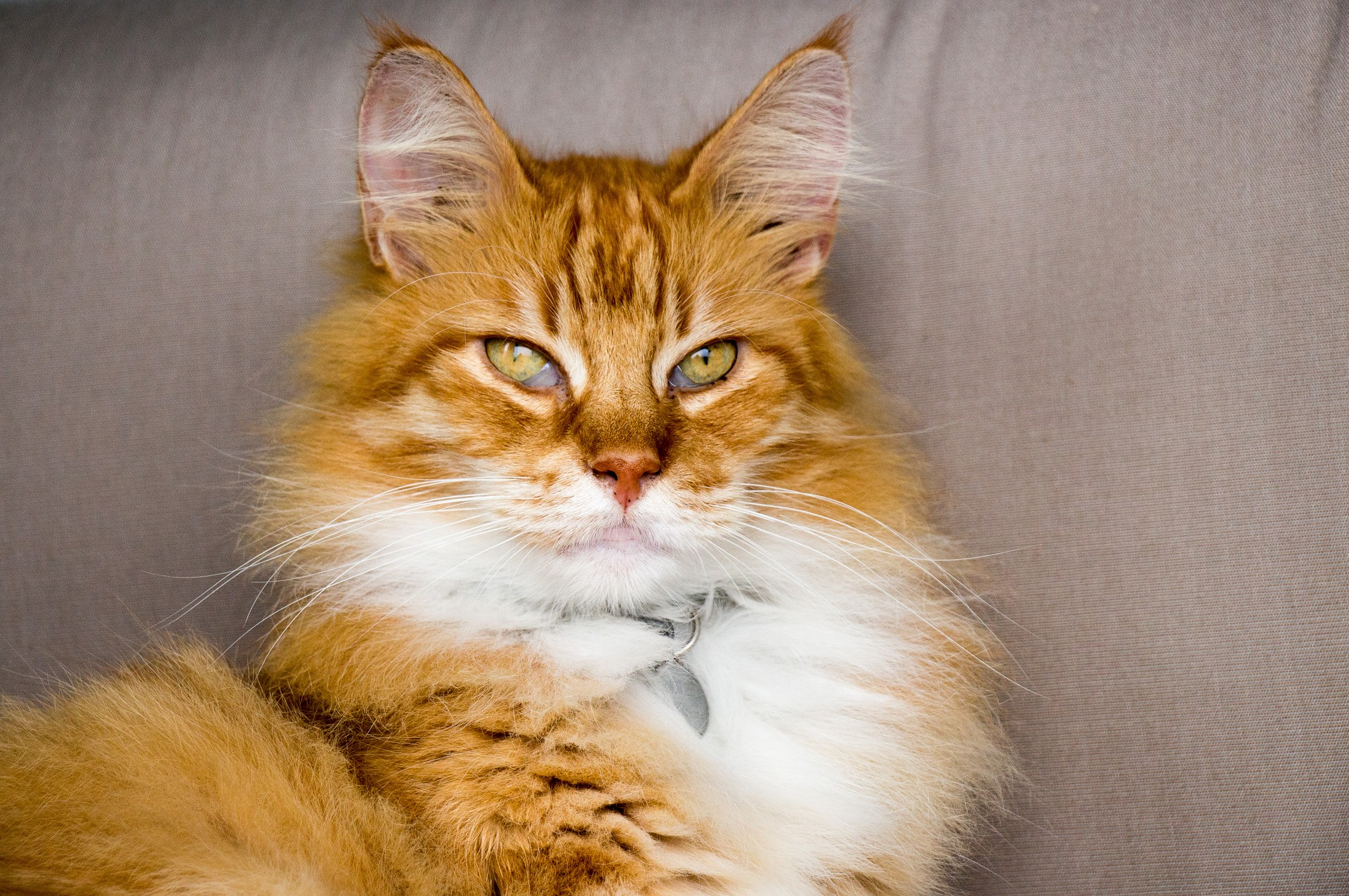 what is hyperthyroidism in cats