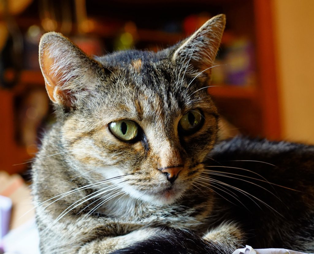 is hyperthyroidism in cats fatal
