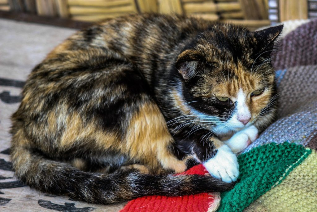 is your cat at risk of a stroke