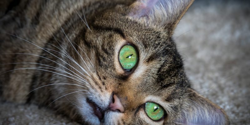 signs of stroke in cats
