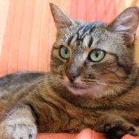 what is dementia in cats