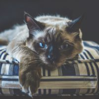 how to treat dermatitis in cats
