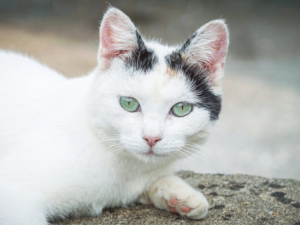 what are the signs of skin cancer in a cat