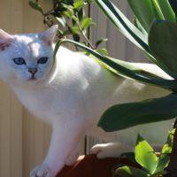 about burmilla cats