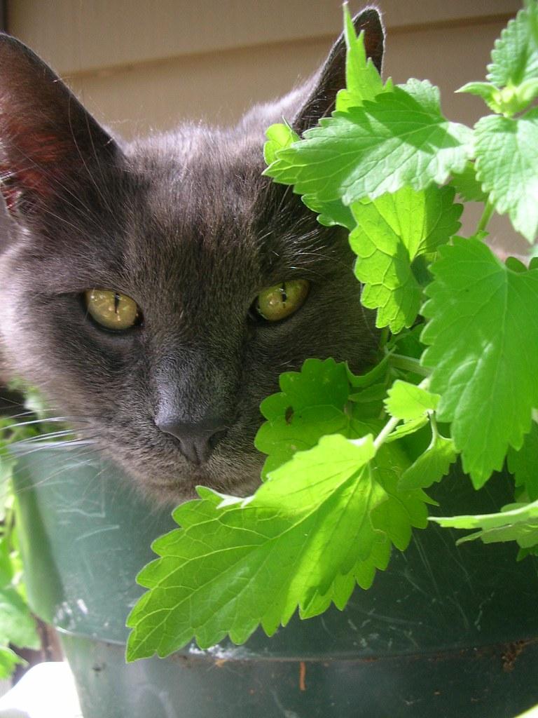 how to grow catnip indoors
