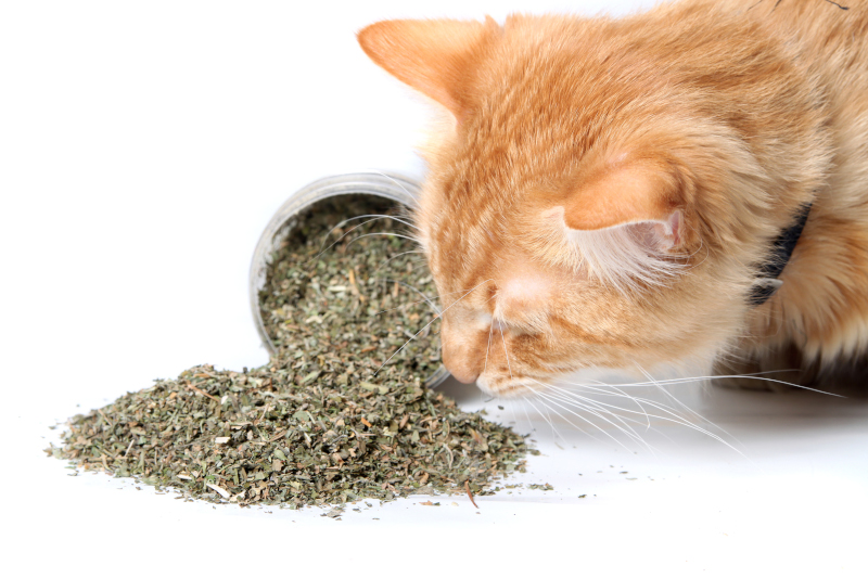why do cats love catnip so much