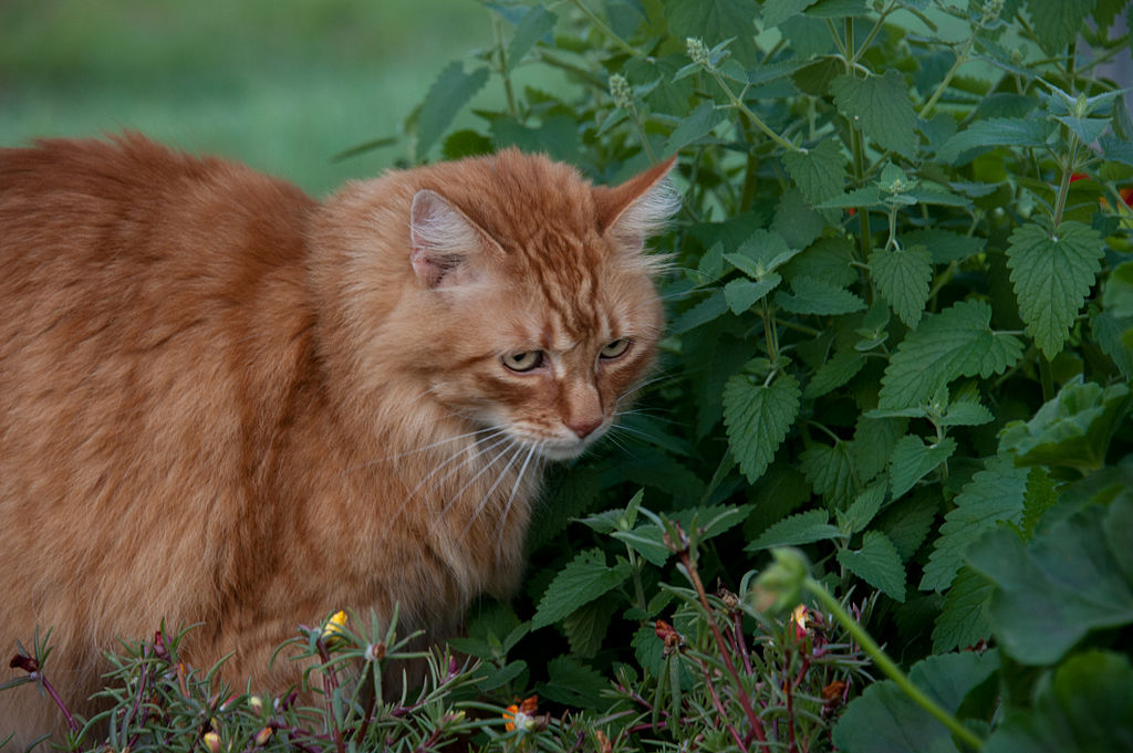 why do cats love catnip so much, and is it safe for them to eat