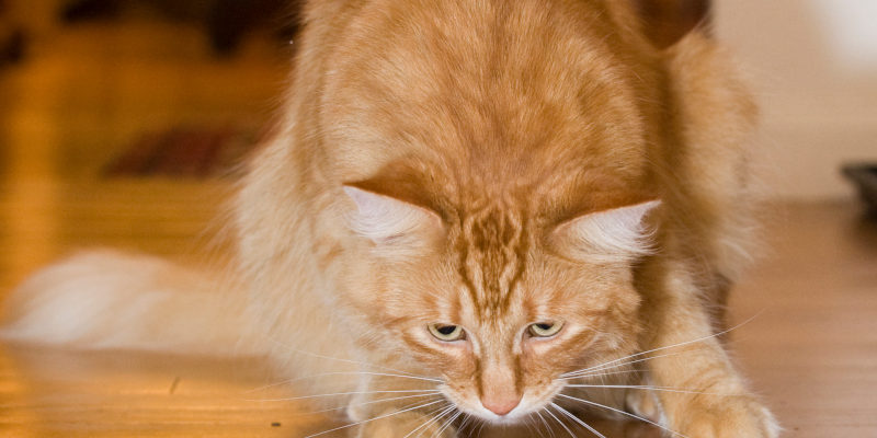 how does catnip affect cats