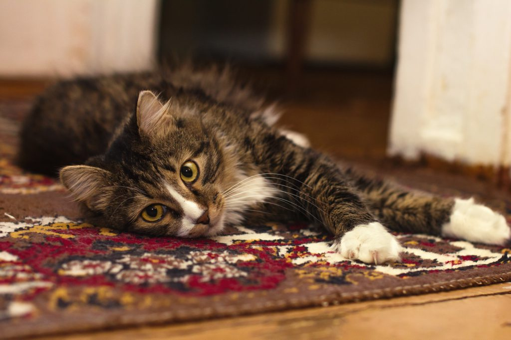 what is heartworm in cats and how is it diagnosed