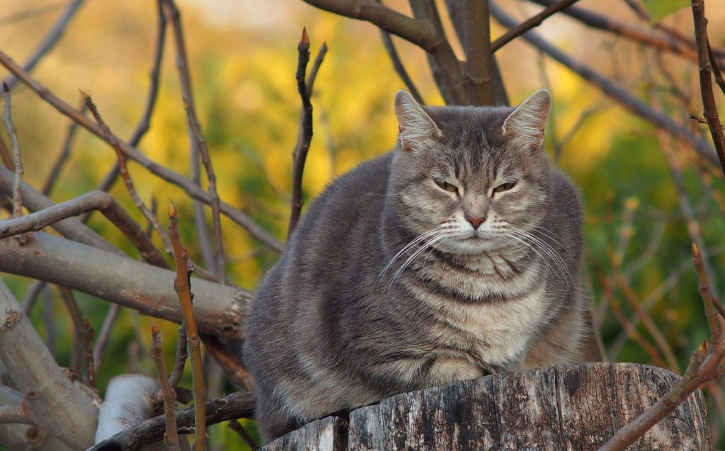 obesity can be a cause of heart disease in cats