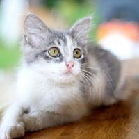 what is heartworm in cats