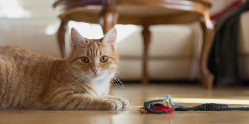 can cats get the coronavirus