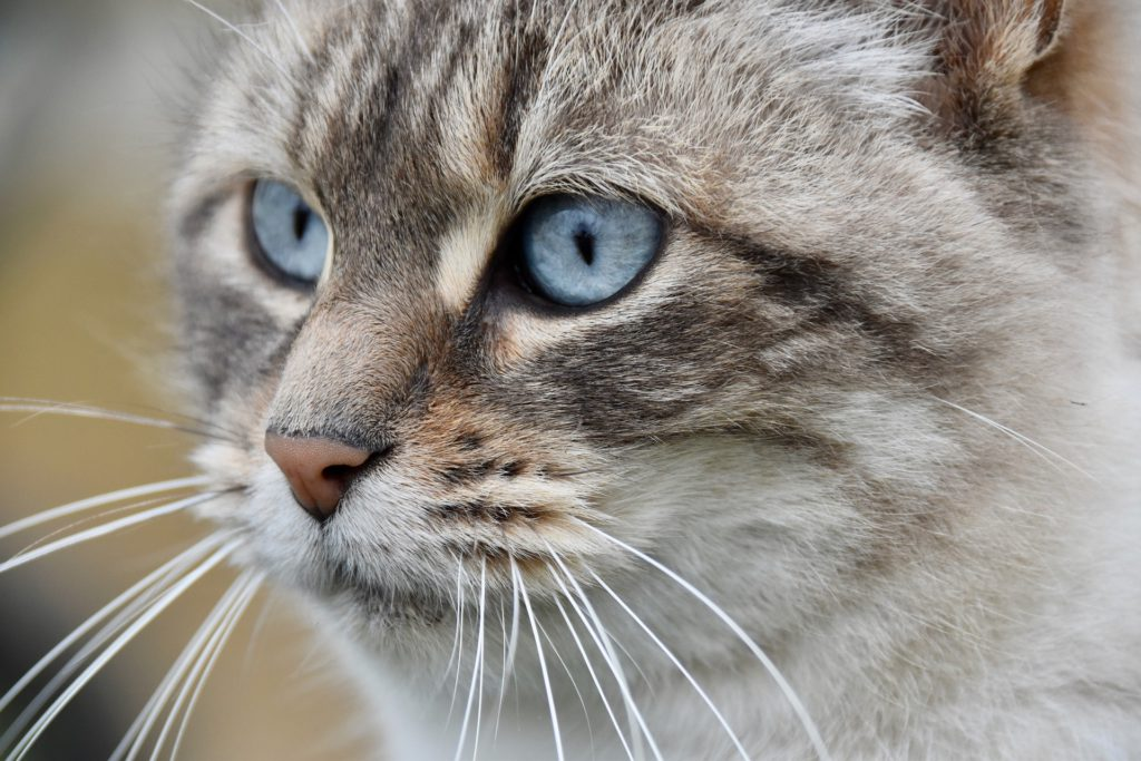 high blood pressure, the silent killer in cats