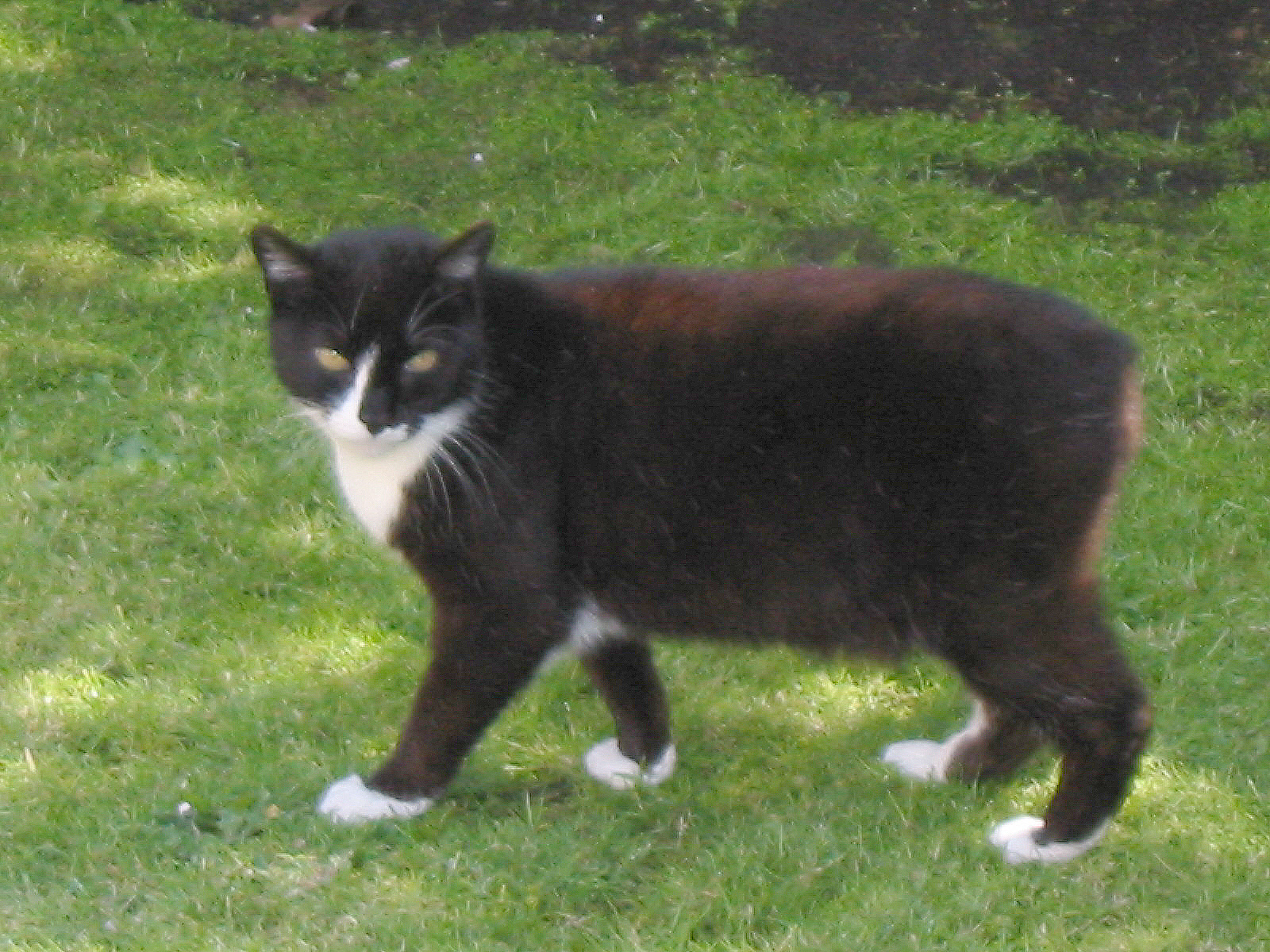 manx cat information