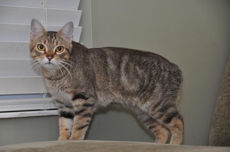 manx cat information-rumpy